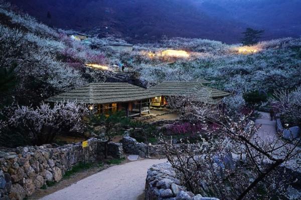 Một trong những nơi đầu tiên báo hiệu mùa xuân về ở Hàn Quốc là  Làng hoa mai Maehwa