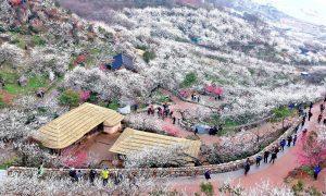 Lễ hội hoa mai trắng ở Maehwa, Gwangyang, Jeollanam (17/3 - 25/3)