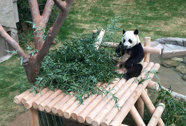 Được tân mắt ngắm nhìn những chú Panda như trong những bộ phim hoạt hình
