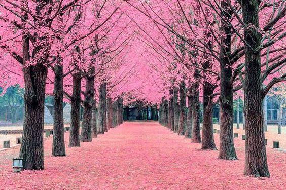 Mỗi độ tháng 4 cũng chính là lúc đảo Nami được phủ lên mọt lớp áo màu hồng tuyệt đẹp