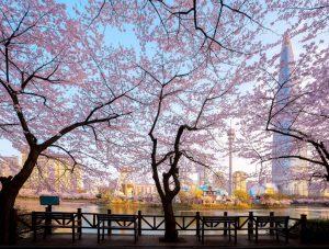 Ngắm hoa anh đào ở hồ Seokchon
