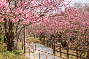 Mỗi độ tháng 4 về cả con đường lại được phủ lên một bữu tranh anh đào thật đẹp