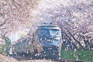Ngồi tàu ngắm anh đào rơi thanh xuân và lãng mạn như những thước phim Hàn Quốc