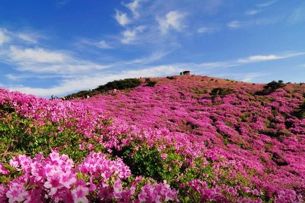 Những đóa đỗ quyên ngập trời mùa xuân Hàn Quốc