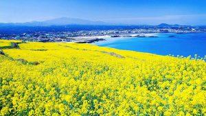Đao Jeju được thiên nhiên ưu dãi cho một khí hậu ôn hòa cảnh sắc hữu tình quanh năm